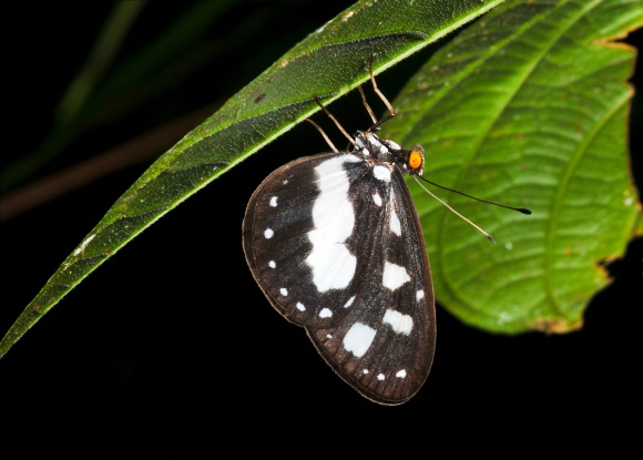 Tellervo assarica YapenIs-Papua DSP001a